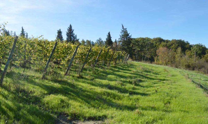 Sta iniziando la fase vegetativa per le nostre viti.